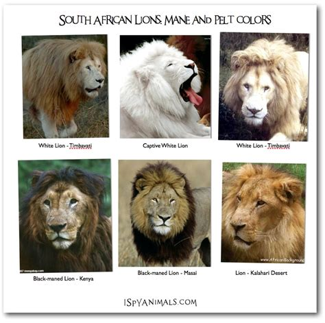 lions colors i animals 201308