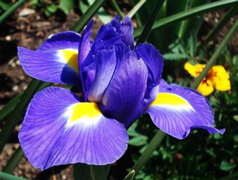 iris fiore iris viridea