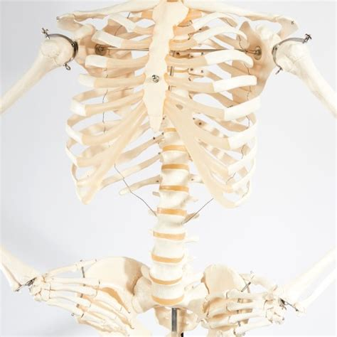 zia priven skeleton l oh them bones life size philippe l by zia priven is