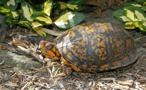 animal a day eastern box turtle