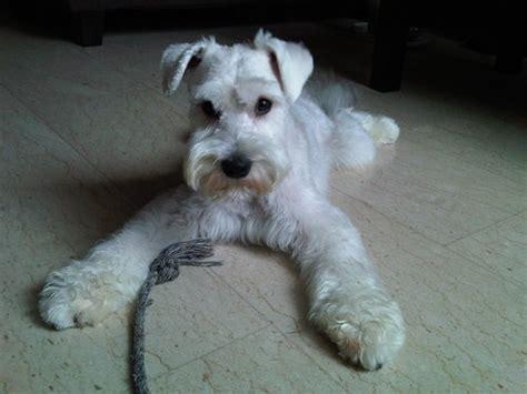 white schnauzer puppies white schnauzer puppy adorable schnauzers