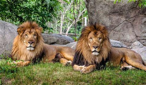 imagenes de leones en zoologico chile matan a dos leones de zool 243 gico por suicida
