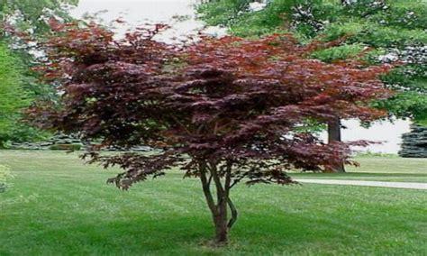 maple tree width bloodgood japanese maple bloodgood japanese maple bloodgood japanese maple tree interior
