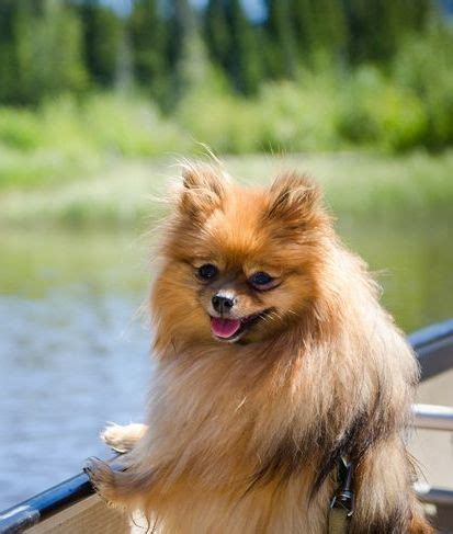 teacup pomeranian hypoallergenic 17 best images about animals pomeranians only on pomeranian haircut