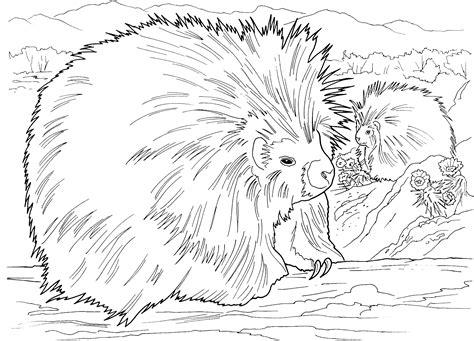 Porcupine Animal Printable Coloring Sheets Coloring Pages Porcupine Coloring Page