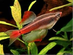 tanichthys albonubes white cloud mountain minnow aphyocypris pooni seriously fish