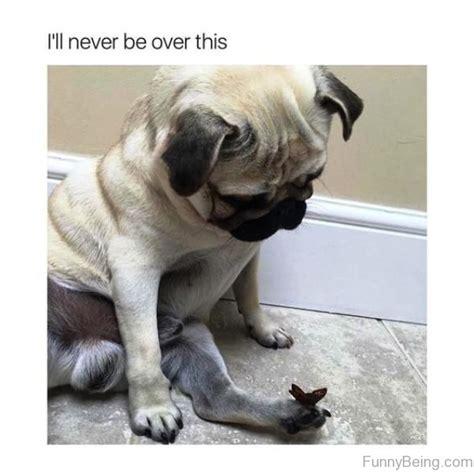 Sad Pug Meme - pug meme