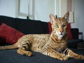 leopard domestic cat looks like pictures to pin on