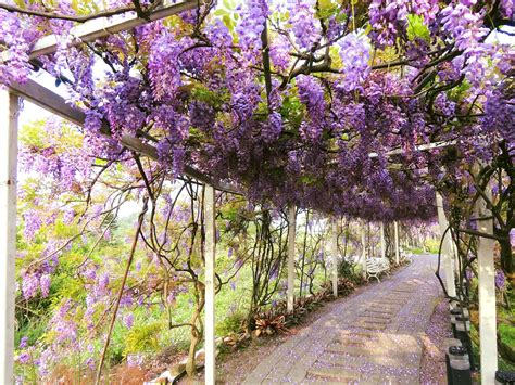 wisteria tunnels around taiwan taiwan news