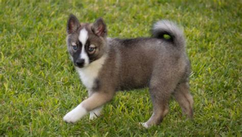 how many types of pomeranians are there pomsky pomeranian husky mix fuzzy today