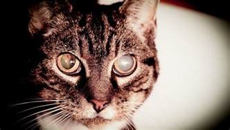 Going Blind Symptoms Cataracts In Cats Symptoms Causes And Treatments Cattime