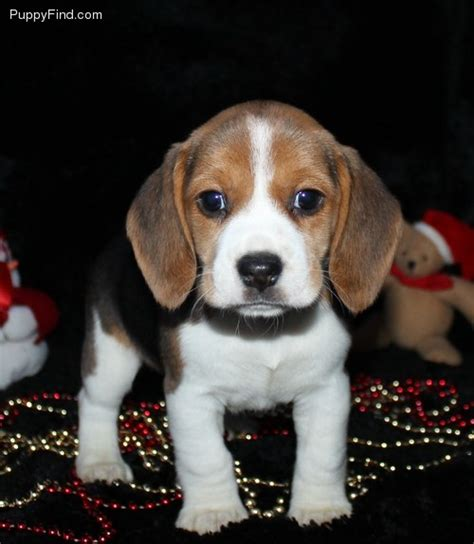 puppy finder by state beagle pictures 9db8237y8kr