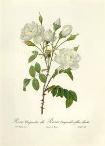 vintage flower print 1963 antique white redoute rose flower
