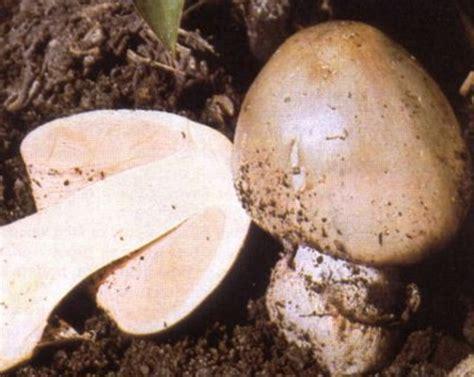 Budidaya Jamur Merang cara menanam dan budidaya jamur merang bibitbunga