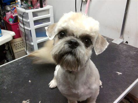 Fun Shih Tzu Haircuts Poodle Forum Standard Toy | fun shih tzu haircuts page poodle forum standard toy