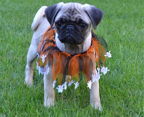 haired pug pictures 1232 best images about pug puppies on