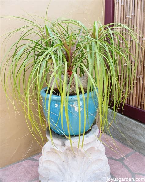 care   repot  ponytail palm