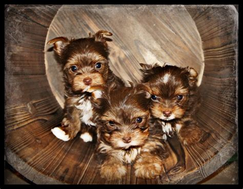 chocolate yorkie breeders teacup parti yorkies puppies