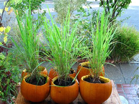 Lemon Grass In Planters by Plant Lemongrass As A Way To Keep Mosquitoes Away