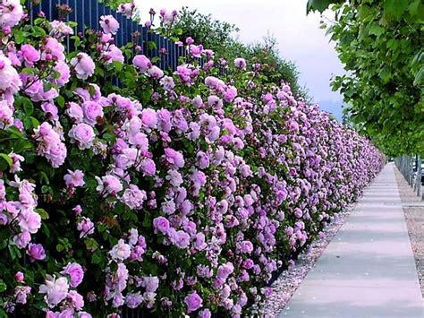 fiori da siepe siepi con fiori siepi siepi con fiori caratteristiche