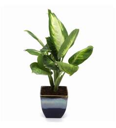 indoor small plants buy exotic green dieffenbachia small indoor plant in ocean