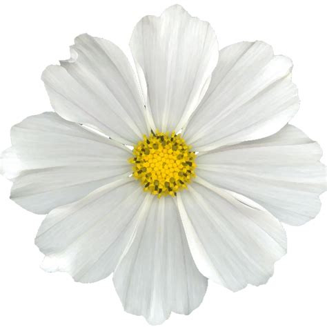 White Flowers by White Flower Png Cuz I Can Free White Digi