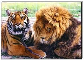 Jaguar Vs Gorilla And Tiger Vs And Gorilla Battles Comic Vine