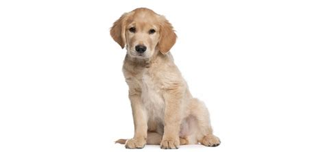 golden retriever pet golden retriever pet insurance reviews and comparisons