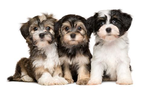 facts about havanese havanese breeders all about havanese breeders