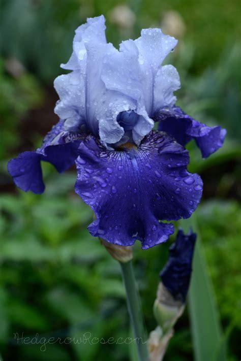 reblooming iris best bet