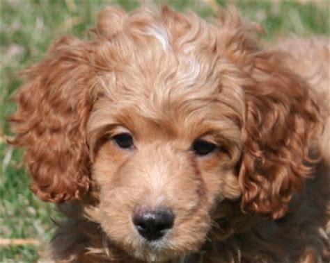 mini poodle puppy teddy miniature poodle puppies