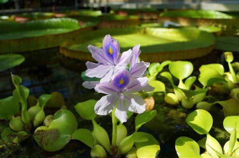 piante acquatiche da appartamento piante per tartarughe d acqua piante acquatiche commestibili