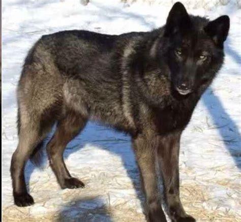 wolf hybrid wolf wolfdog husky pinterest