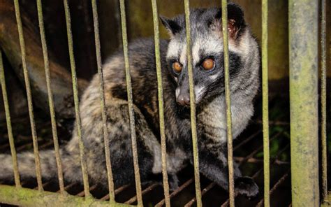 luxury coffee demand leads  kopi luwak toddy cats caged