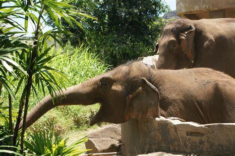 botanical name of elephant asian elephant honolulu zoo
