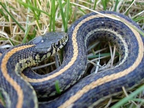 Garden Snakes Eat Garden Snake Photo