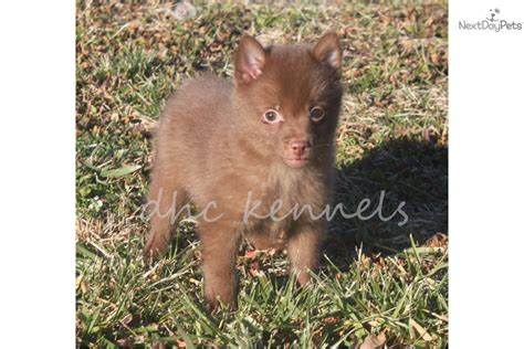 schipperke puppy for sale schipperke puppies for sale breeds picture