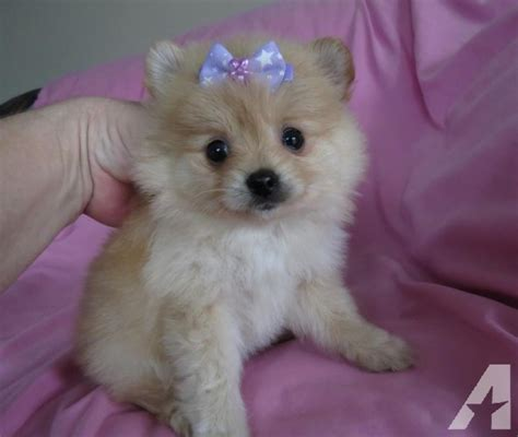 pomeranian breeders oregon pomeranian puppies tiny size for sale in florence oregon classified