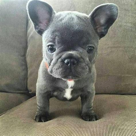 grey frenchie puppy the 25 best baby bulldog ideas on bulldog puppies