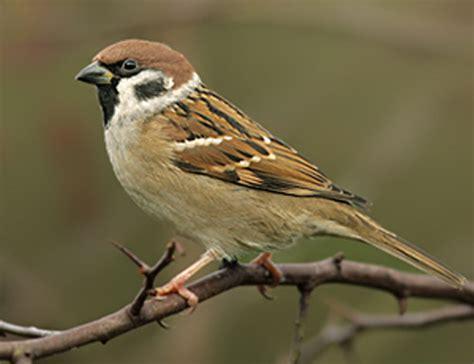 Pakan Lolohan Untuk Burung Gereja harga burung gereja jadi mahal ternyata ini alasannya