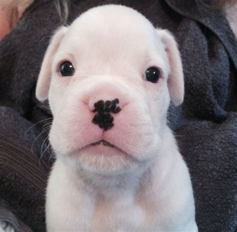 boxer puppies for sale alabama boxer puppies for sale in alabama breeds picture