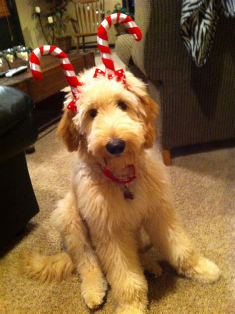 goldendoodle puppy help goldendoodle deer my parents the cutest in the