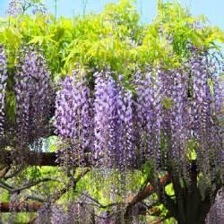 wisteria tree care images