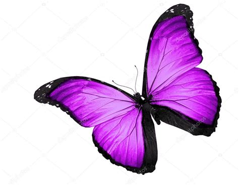 imagenes mariposas violetas violeta mariposa volando aislado sobre fondo blanco