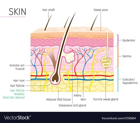 human skin hair structure anatomical sign stock vector 121646728 human anatomy skin and hair diagram royalty free vector