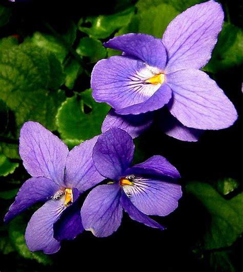 un fiore violetto la viola pensiero un fiore invernale giardinaggio