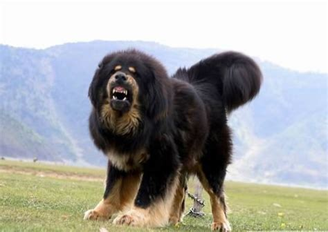 tibetan mastiff puppies tibetan mastiff