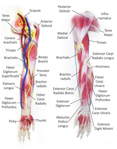 biceps diagram anatomy organ pictures images colection muscles in arm