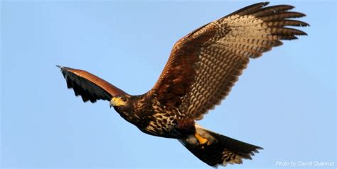 harris hawk natural resources and the environment