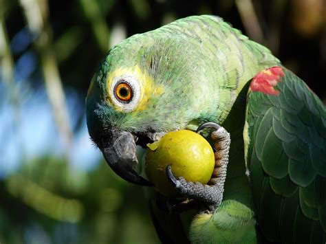 parrot eating fruit parrot birds wallpapers